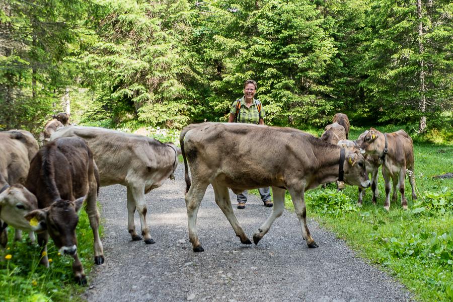 Wandern 2018 in Österreich, Fotografin au Dessau mit jungen Rindern in den Alpen