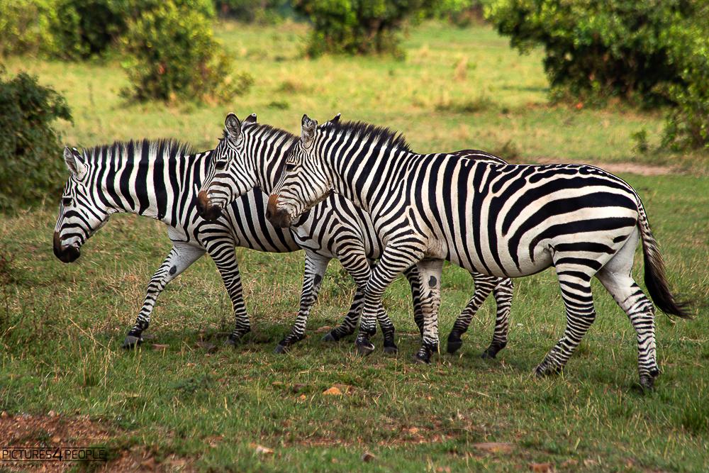 drei Zebras