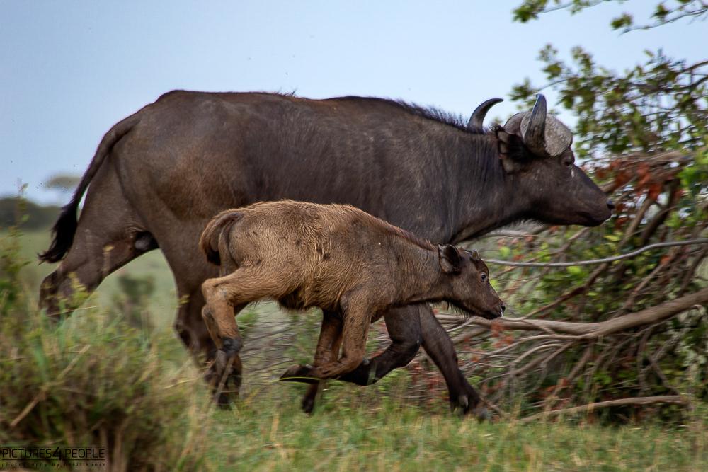 rennende Büffelmama mit Kalb