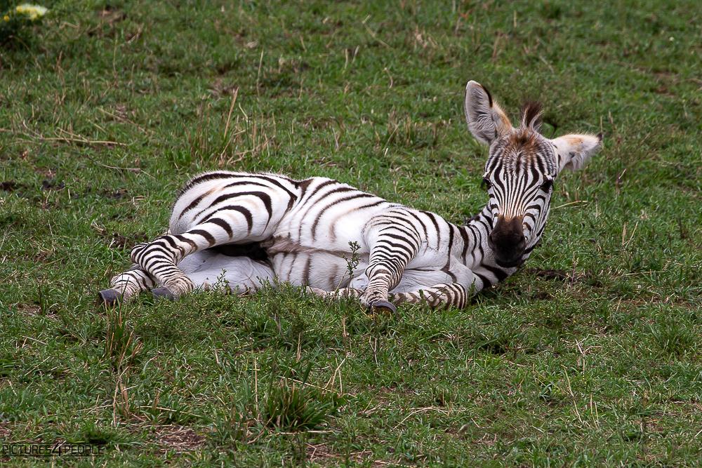 liegendes Zebrababy