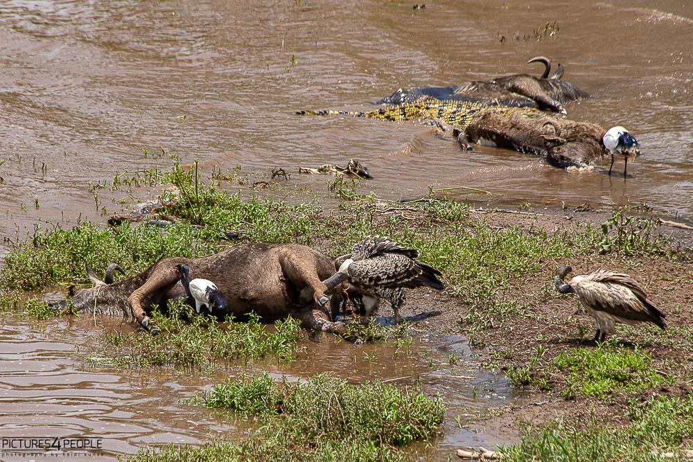 totes Gnu, Krokodil, Geier am Mara Fluss