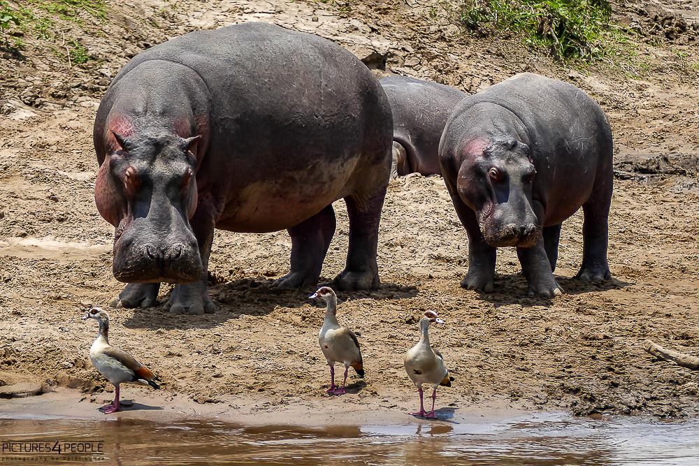 Flusspferde mit Nilgänsen