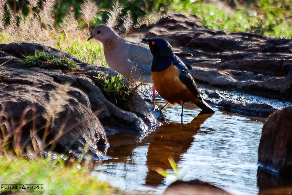 trinkende Vögel