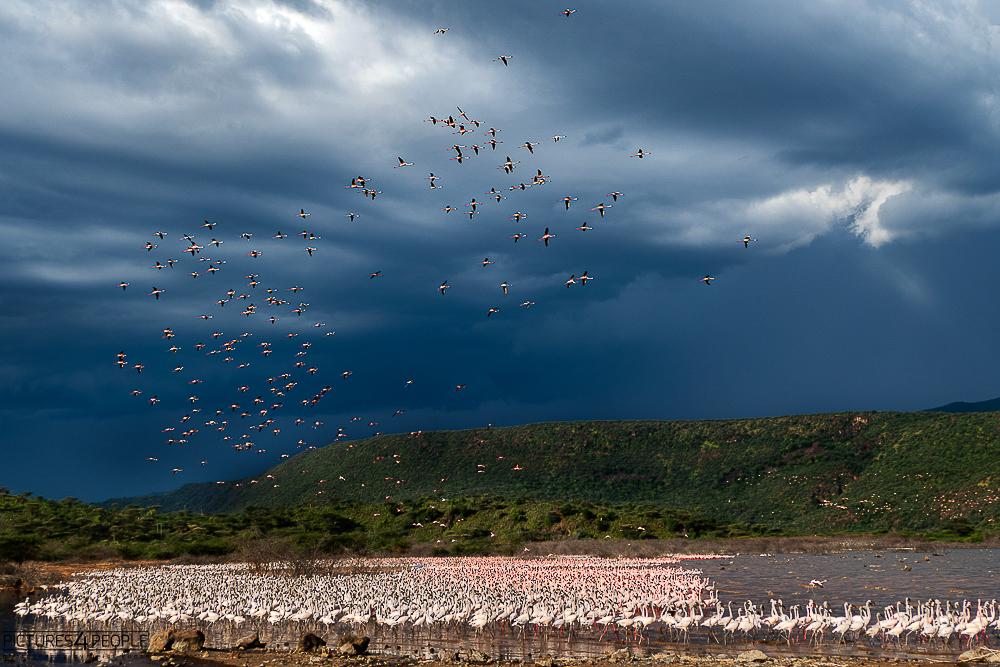 Flamingos mit Gewitter im Hintergrund