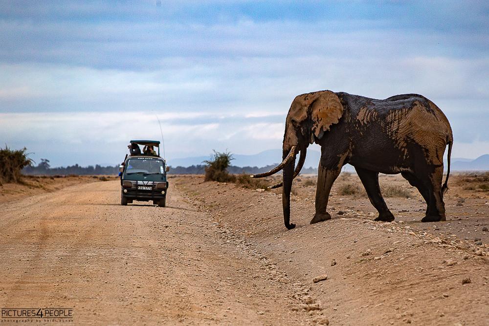 Elefantenbulle mit Safaribus in kenia