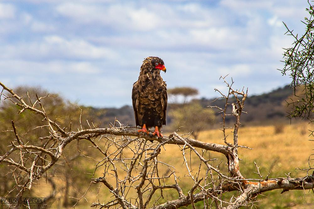 Adler mit rotem Schnabel