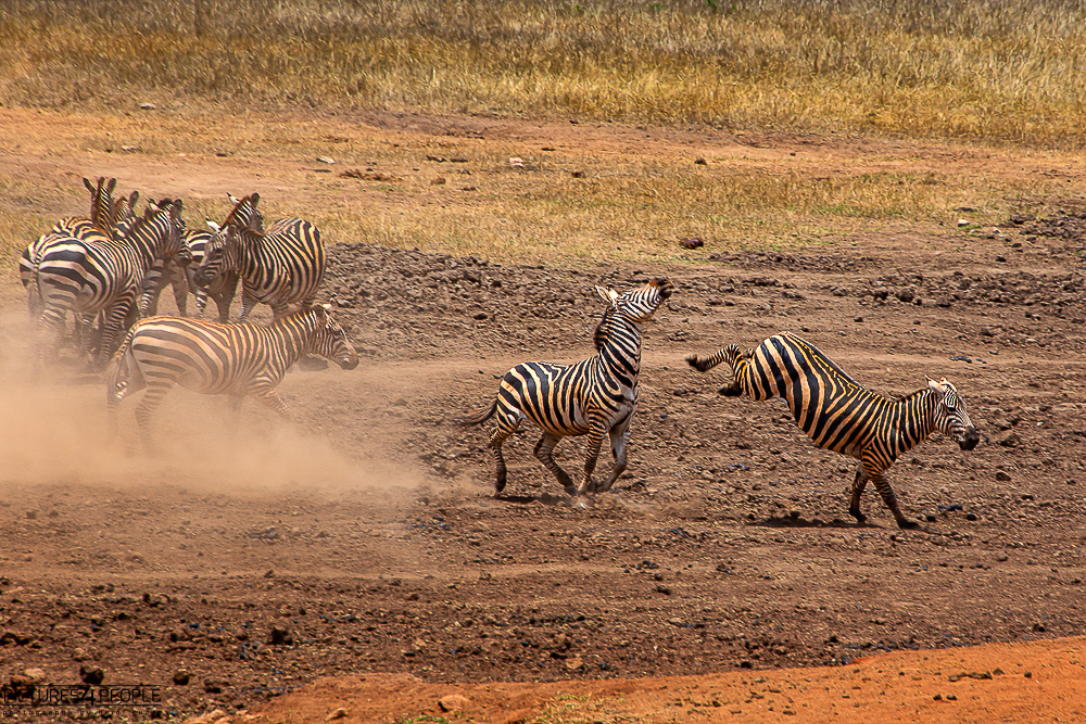 kämpfende Zebras