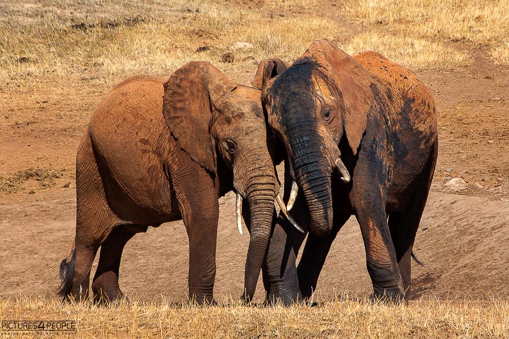 zwei sich schubsende Elefanten