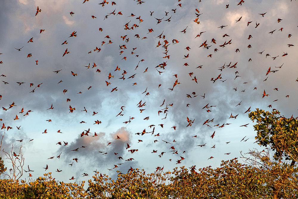 Bienenfresserschwarm am Abend in Kenia